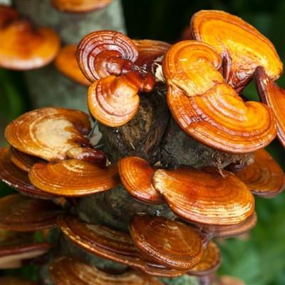 Organic Red Reishi Mushroom Powder